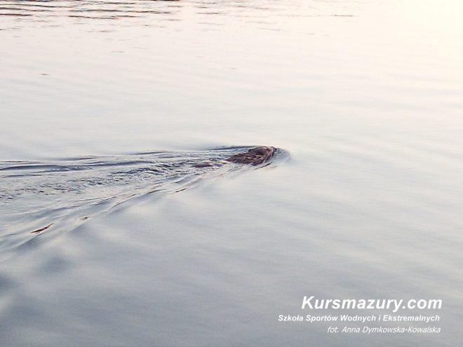jezioro Kisajno port płynący bóbr bobry na mazurach mazury wielkie jeziora mazurskie jezioro rzeka woda nad jeziorem żeremie co je gdzie mieszka zanęta gałęzie zwierzęta wodne ciekawostki życie żeglarstwo na jachcie rejs popielno nory kursmazury rejsy szkoleniowe czartery jachtów trasa rejsu kurs motorowodny sternik motorowodny żeglarz jachtowy zwiedzanie podróże Giżycko kanał obóz młodzieżowy lato wakacje urlop zęby bobra drzewo